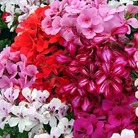 Geranium Gerainbow Collection* BUY 2 GET 1 FREE