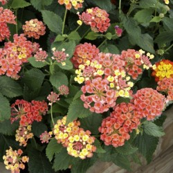 Lantana Collection* (5 Young Plants)