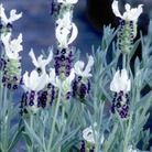 Lavender Collection* BUY 2 GET 1 FREE
