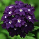 Verbena Aztec Blue Velvet* (5 Young Plants)