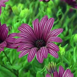 Osteospermum Tresco Purple* BUY 2 GET 1 FREE