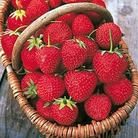 Strawberry Long Cropping Collection (18 Plants)