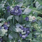 Blueberry Blue Pearl  1 Bush