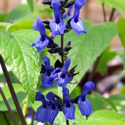 Salvia Black and Blue* BUY 2 GET 1 FREE