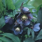 Helleborus Blue Metallic Lady* (3 Young Plants)