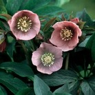 Helleborus Pink Lady* (3 Young Plants)