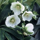 Helleborus White Lady* (3 Young Plants)