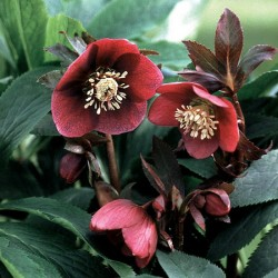 Helleborus Red Lady* (3 Young Plants)