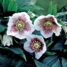 Helleborus White Lady Spotted* (3 Young Plants)