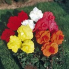 Begonia  Rosette Trumpet Collection BUY 2 GET 1 FREE