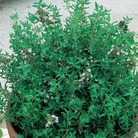 Thyme Duo Pack Seeds
