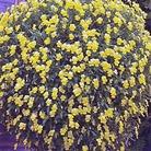 Friolina Viola Yellow* (5 Young Plants)