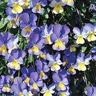 Friolina Viola Blue & Gold* (5 Young Plants)