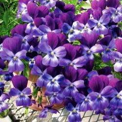 Friolina Viola Purple* (5 Young Plants)
