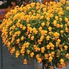 Friolina Viola Orange* (5 Young Plants)