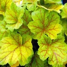 Heuchera Electra* (3 Young Plants)