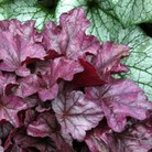 Heuchera Plum Royale* (3 Young Plants)