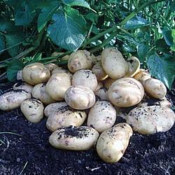 International Kidney Seed Potato (Salad)