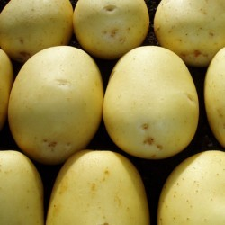 Hunter Seed Potato (Second Earlies)