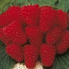 Raspberry Canes-Tulamen (Main Season)