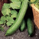 Cucumber Euphya Plants x3