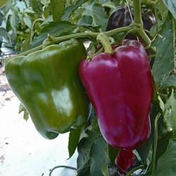 Pepper Lany Plants x 3