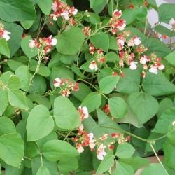 Dwarf Runner Bean Hestia Plants x12