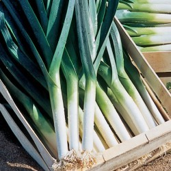 Leek Sevilla Plants x45