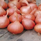 Shallot Red Sun Bulbs