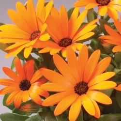 Osteospermum Sunny Dark Florence* (5 Young Plants)
