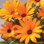 Osteospermum Sunny Dark Florence* (5 Young Plants)