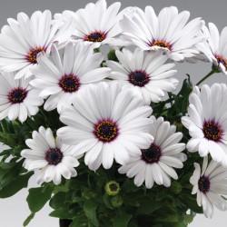 Osteospermum Sunny Carlos* (5 Young Plants)