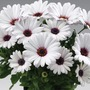 Osteospermum Sunny Carlos* (5 Young Plants)