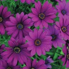 Osteospermum Sunny Mary* (5 Young Plants)