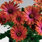 Osteospermum Sunny Sheila* (5 Young Plants)