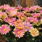Osteospermum Sunny Bella