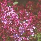 Syringa 'Red Pixie' (lilac)