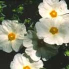 Cistus x obtusifolius 'Thrive' (Rock Rose)