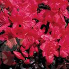 Rhododendron 'Maruschka' (evergreen azalea)