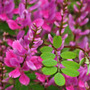 Indigofera himalayensis 'Silk Road' (pink flowered indigo)
