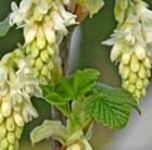 Ribes sanguineum 'Elkington's White' (flowering currant)