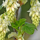 Ribes sanguineum 'Elkington's White' (flowering currant)