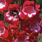 Penstemon 'Pensham Amelia Jane' (beard tongue)