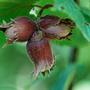 Corylus avellana (hazel nut   25 plants   30 40cm)