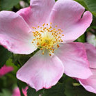 Rosa canina (dog rose hedging (shrub)   25 plants   30 40cm)