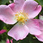Rosa canina (dog rose hedging (shrub)   25 plants   30 40cm)