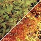 Acer Palmatum Katsura (Japanese Maple) 1 Plant 9cm pot