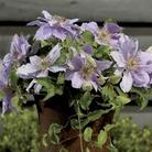 Clematis Flora Filigree™ Evison™ & Poulsen® 1 Plant 7cm Pot