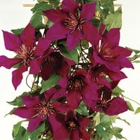 Clematis Flora Picardy ™ Evison ™ & Poulsen ® 1 Plant 7cm Pot