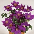 Clematis Flora Bijou™ Evison™ & Poulsen®  1 Plant 7cm Pot